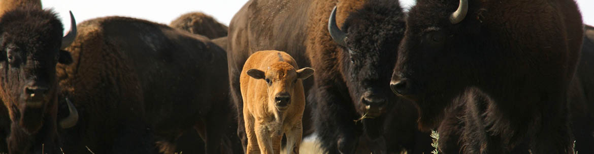 First and second generation bison calf, SK (Photo by Karol Dabbs)