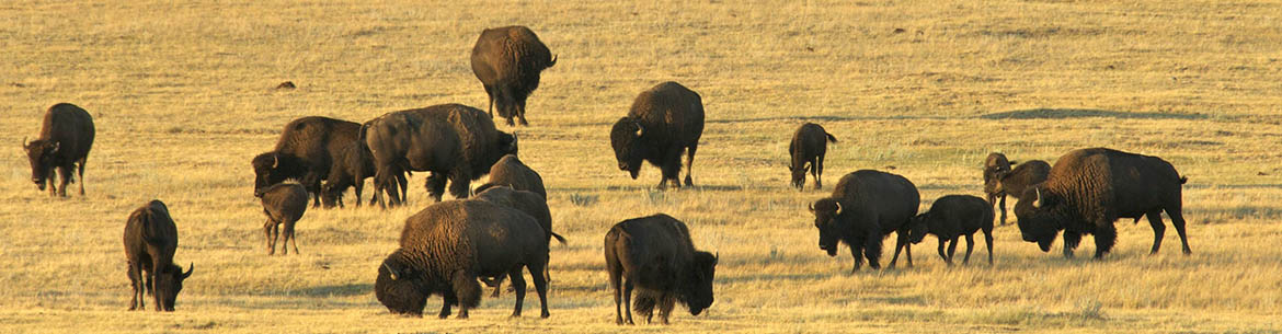 Bison roaming at Old Man on His Back Property, SK (Photo by Karol Dabbs)