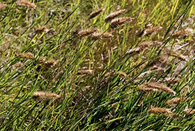 Crested wheat (Photo by Gail F. Chin)