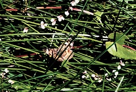 A butterfly among the sheaths of grass (Photo by Gail F. Chin)