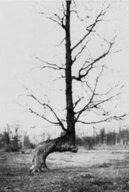 1800s photograph of a marker tree, Illnois (Photo from Illinois Lakes Region Historical Society)