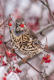 Mistle thrush eating a berry (Photo by Peter Gadd)
