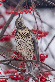 The mistle thrush seemed to have settled in to its new environment. (Photo by Peter Gadd)