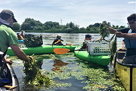 Scouts removing water chestnut from the Rideau Canal (Photo by 23rd Nepean Scout Group)