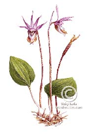 Western fairy orchid, watercolour on paper (By Vicky Earle; used with permission)