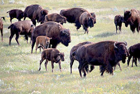 Plains bison herd at Old Man on His Back (Photo by Gail F. Chin)