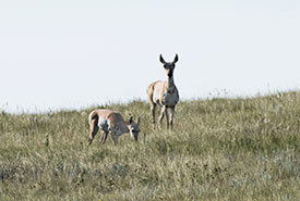 Pronghorns at OMB, SK (Photo by Gail F. Chin)