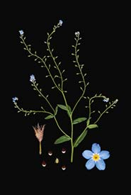 Forget-me-nots (By Laara Cerman; used with permission)