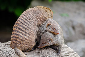 Banded mongooses in a pile (Photo by Mathias Appel, Wikimedia Commons, CC0 1.0)