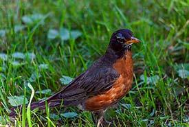 American robin (Photo by Michel Rathwell, Wikimedia Commons)