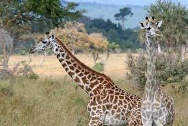 Giraffes at Mikumi National Park (Photo by Muhammad Mahdi Karim/Wikimedia Commons)