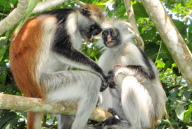 Red colobus monkeys in Jozani forest. Endemic to Zanzibar (Photo by Olivier Lejade, Wikimedia Commons)
