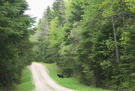 A black bear located where I normally like to see them: far away. (Photo by Dr. Diana Bizecki Robson)