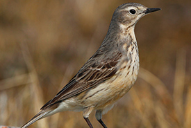 American pipit (Photo by James M. Richards)