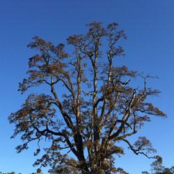 Ancient oak (Photo by Ren Ferguson)