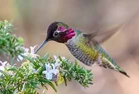 Anna's hummingbird (Photo by Becky Matsubara, CC-BY)