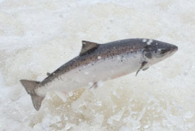 Atlantic salmon jumping in Humber River (Photo by Tom Moffatt/ASF)