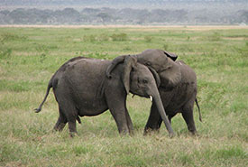 Baby elephants playing (Photo by Wikimedia Commons)