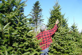 Balsam fir Christmas tree pruning (Photo by Blake Wile/Wikimedia Commons)