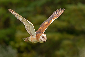 Barn owl (Photo by Peter K Burian, Wikimedia Commons)