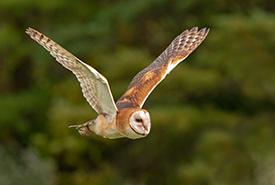 Barn owl (Photo by Peter K Burian, Wikimedia Commons)