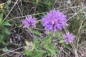Western bergamot (Photo by NCC)