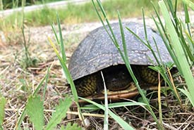 Blanding's turtle, a species at risk (Photo by NCC)