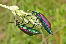 It was mating season for these spectacular blister beetles. (Photo by Dr. Diana Bizecki Robson)