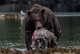 Bear with salmon (Photo by Bobushphoto via Getty Images Signature/Canva)