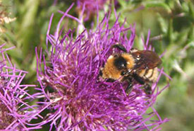 Bumblebees just loved visiting these stemless thistles. (Photo by Dr. Diana Bizecki Robson)