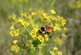 Bumblebees were visiting the invasive leafy spurge plants at the preserve (Photo by Diana Bizecki Robson)