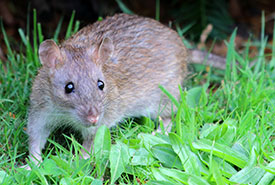 Brown rat (Photo by Dunpharlain, Wikimedia Commons, CC BY-SA 4.0)