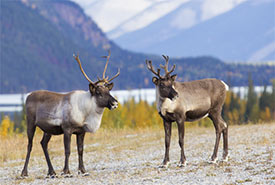 Caribou (Photo by Richard Seeley from Getty Images/Canva)