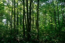 Carolinian forest. (Photo by Jody Allair)