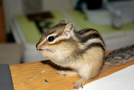 Chipmunk (Photo by Wikimedia Commons)