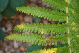 Closeup photograph of the pinnae of a sterile frond of the cinnamon fern (Photo by Derek Ramsey, Wikimedia Commons)