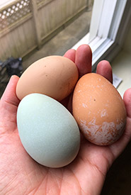My hens produce colourful eggs (Photo by LM Neilson/NCC staff)
