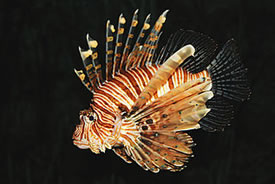 Common lionfish (Photo by Michael Gäbler, Wikimedia Commons)