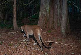 A female cougar spotted at NCC's Ryan River property in BC. (Photo by Fernando Lessa)