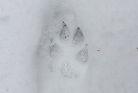 Coyote tracks (Photo by NCC)