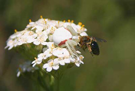 Bees have a good reason to be wary of crab spiders. (Photo by Dr. Diana Bizecki Robson)