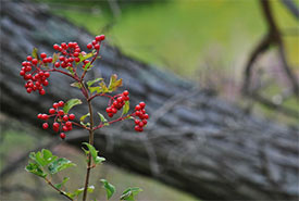 Highbush cranberry (Photo by Brenda Lawlor from Getty Images/Canva)