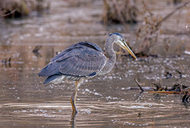 Great blue heron at Cranberry Marsh, ON (Photo by Lorne)