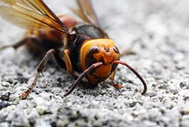 Keep an eye out for Asian giant hornets and report suspected sightings. (Photo by t-mizo, Flickr)
