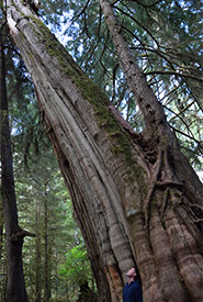 Old-growth cedar supporting a young western hemlock (Photo by NCC)