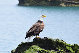 Bald eagle (Photo by NCC)