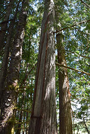 Culturally modified western red cedar (Photo by NCC)