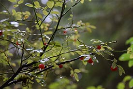 Red huckleberry (Photo by NCC)