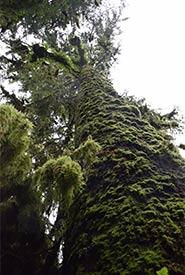 Mossy Sitka spruce, Gullchucks Estuary, BC (Photo by NCC)