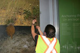 Debbie Thompson, installing the white prairie-clover specimen. (Photo courtesy of Manitoba Museum)